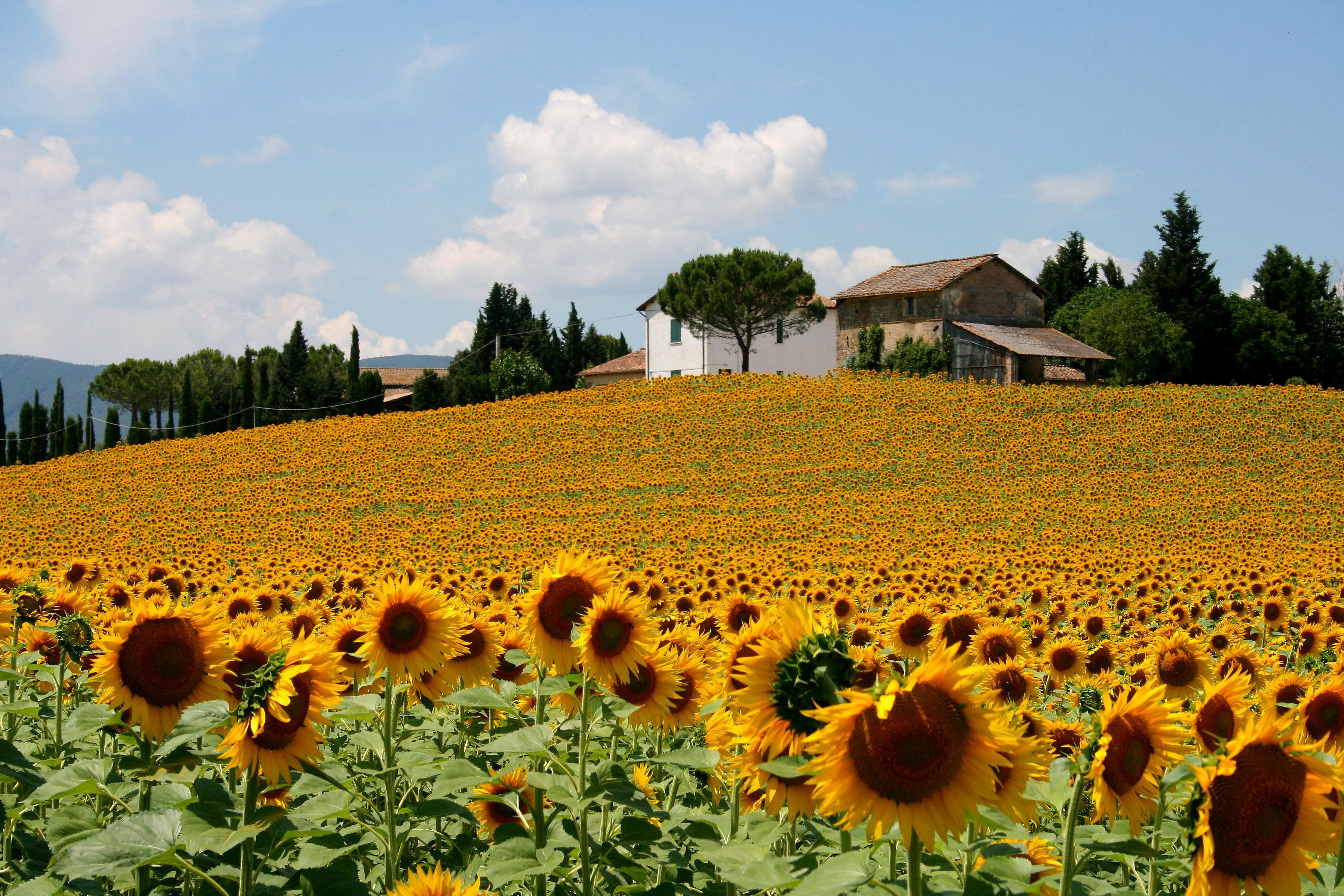 Tour turistici i girasoli driver service firenze for Quadri fiori olio